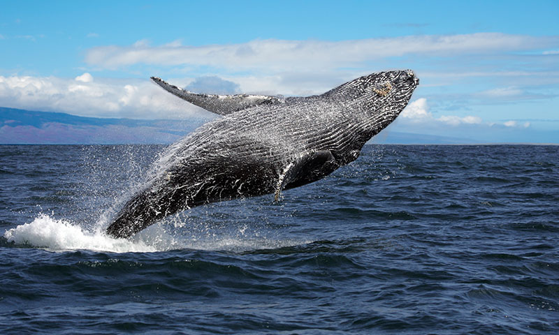 Best Spot for Whale Watching on Maui